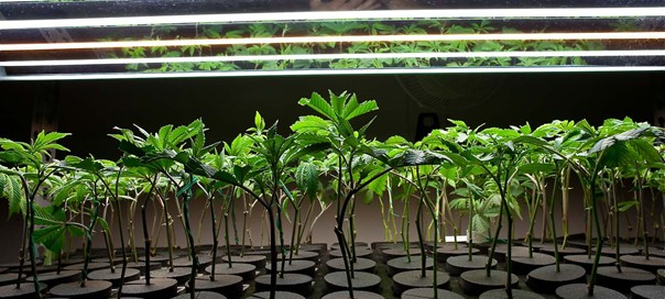 Cannabis Clones Pros and Cons