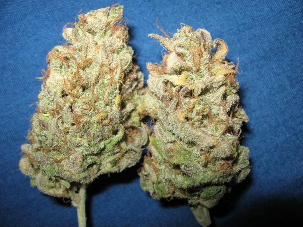 Sensi Star cannabis strain