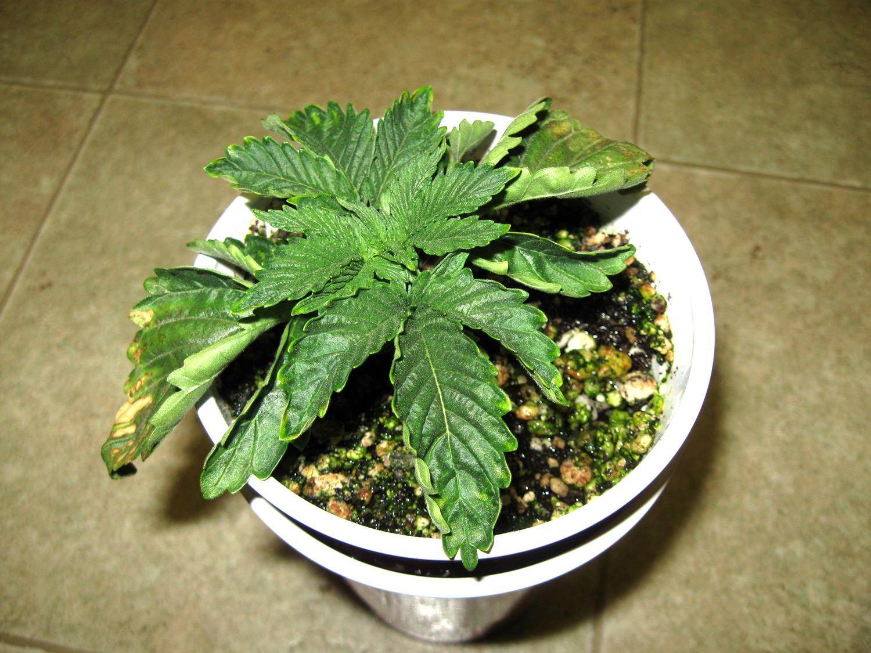 rookie cannabis growing errors