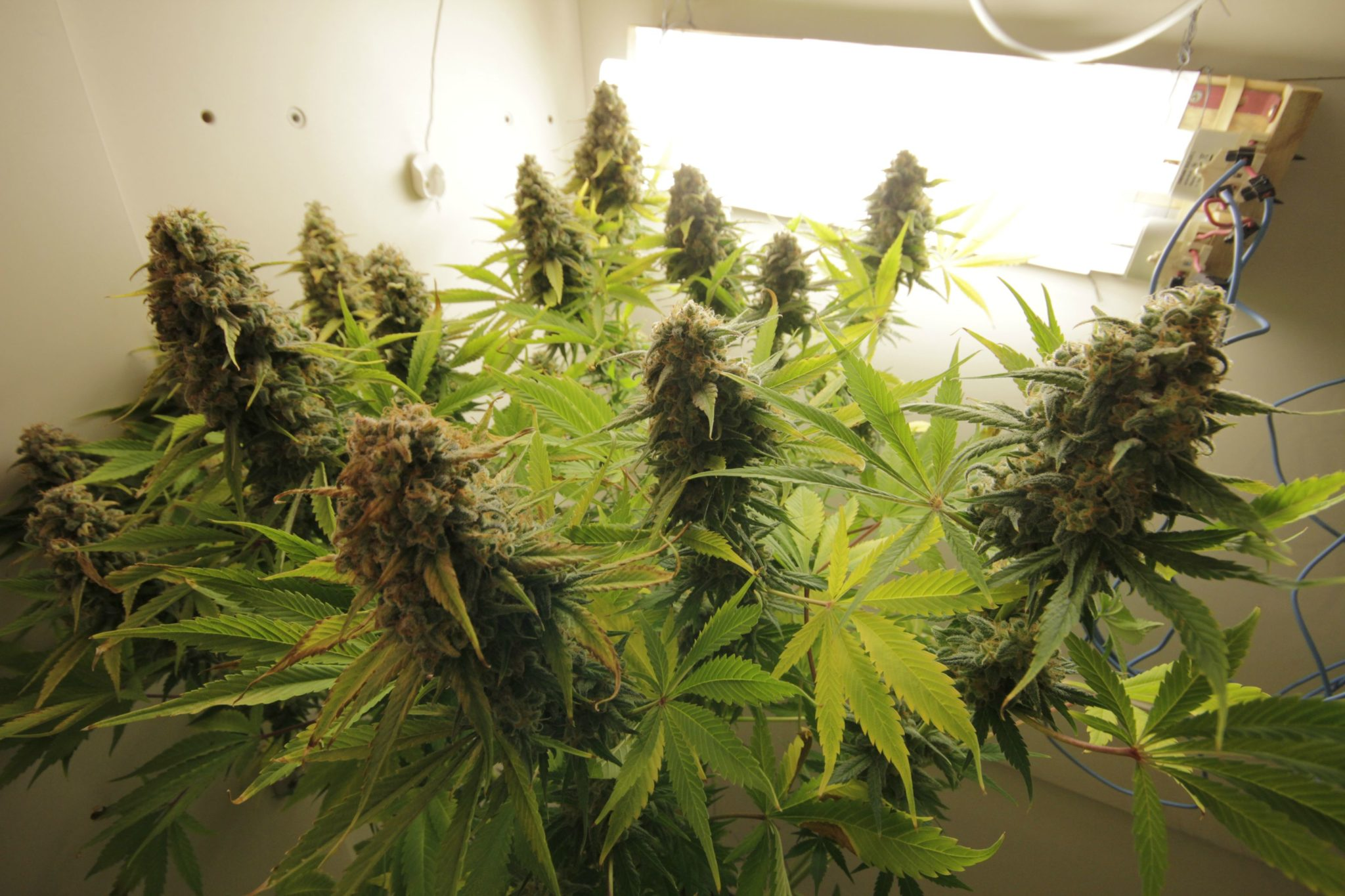 Growing AK 47 from Serious Seeds