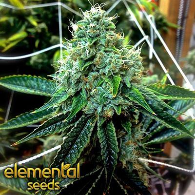 True OG by Elemental Seeds