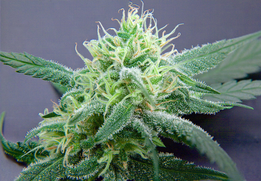 Allen Wrench strain Flower