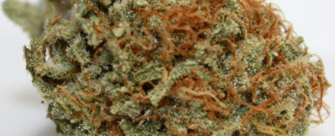 Kush Berry Cannabis Strain