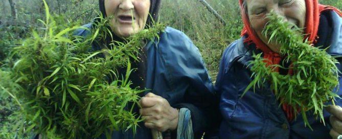 grandmas-cannabis-plant-grown-home