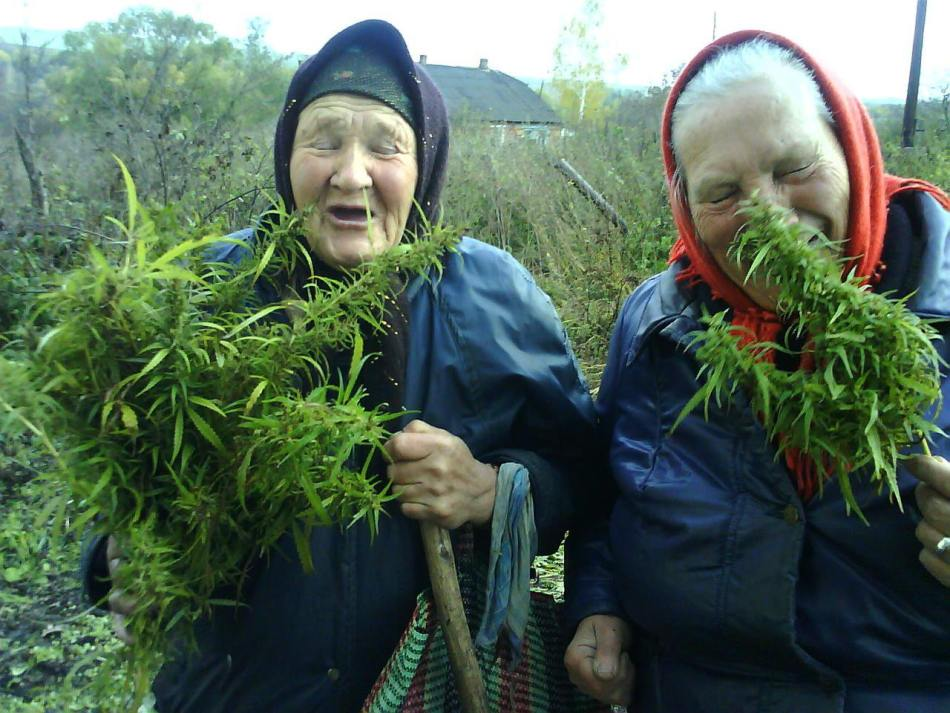 grandmas-cannabis-plant-grown-home