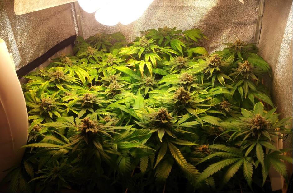 LED Lighting cannabis grow space