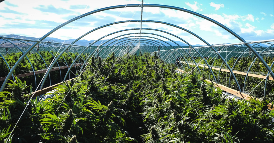 Commercial cannabis farm