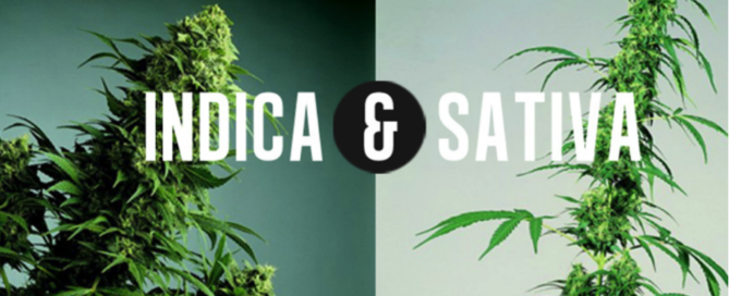 Indica and Sativa Cannabis a guide