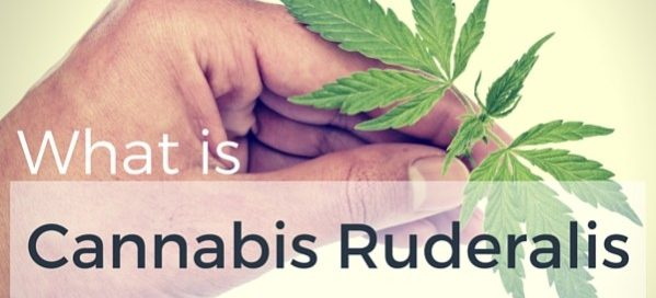 Autoflowering cannabis ruderalis