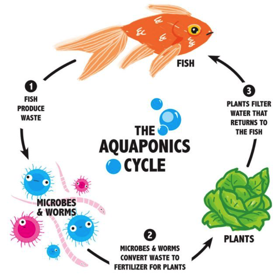 Cannabis Aquaponics grow cycle