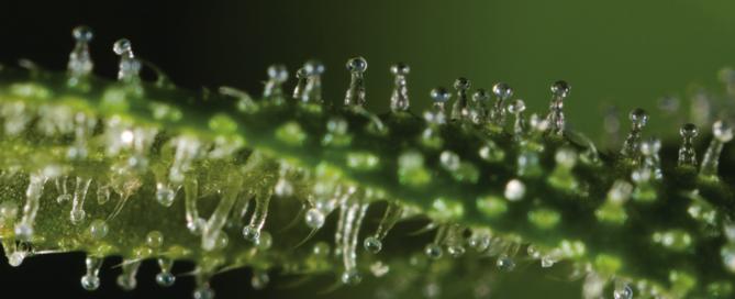 Cannabis Anatomy Trichromes