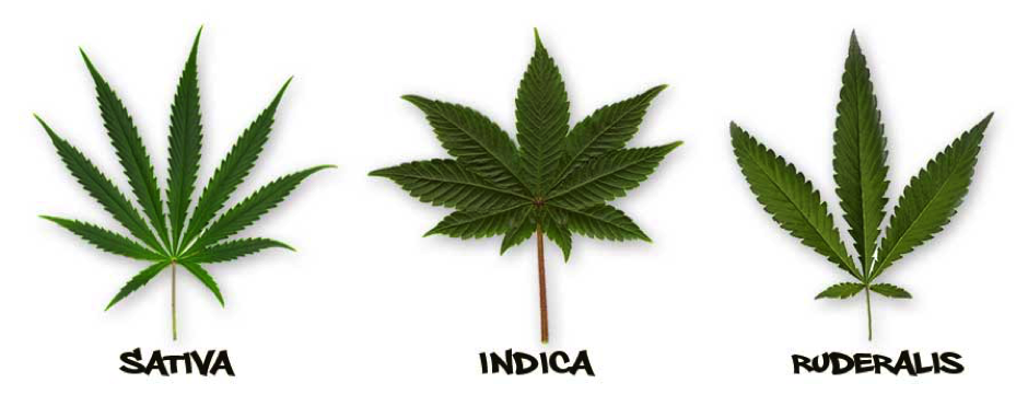 Cannabis Sativa, Indica and Ruderalis