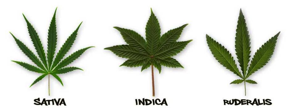 Cannabis Sativa, Indica and Ruderalis
