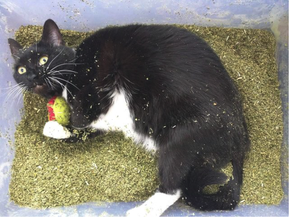 Catnip - cannabis for cats!