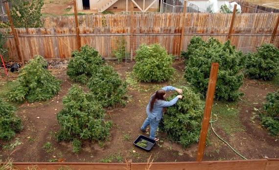 Growing Cannabis Maine