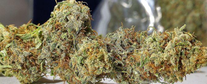 Malawi Gold Sativa Land race cannabis strain