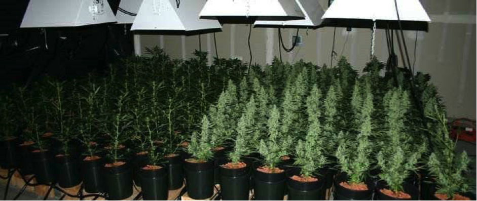 how to grow indica weed indoors