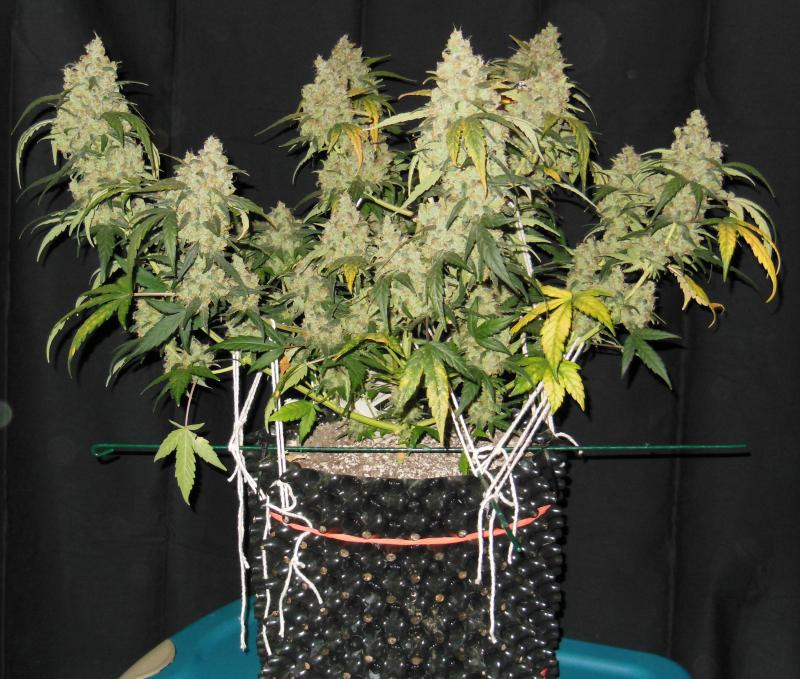 Auto Pounder With Cheese in flower