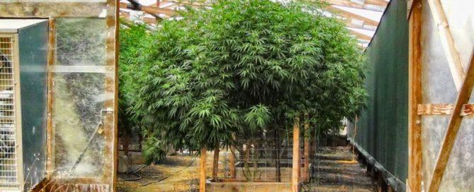 Grow MMJ in Montana