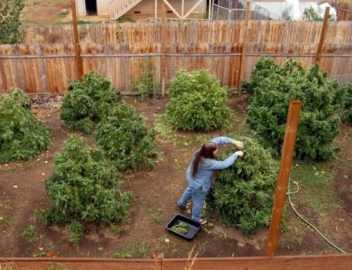 Cannabis Fertilizer – Know What You Need