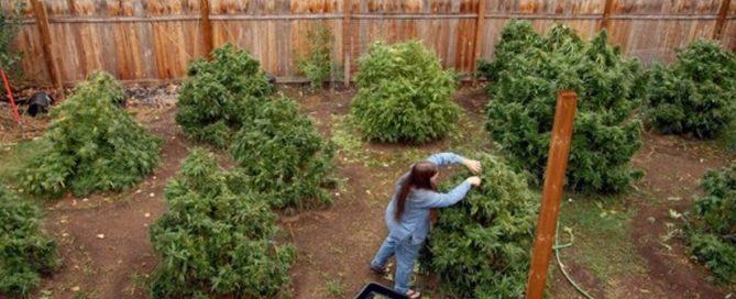 using cannabis fertilizeR