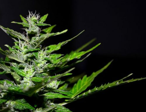 "Why Cannabis Terpenes Are Vital To The ""Entourage Effect"""