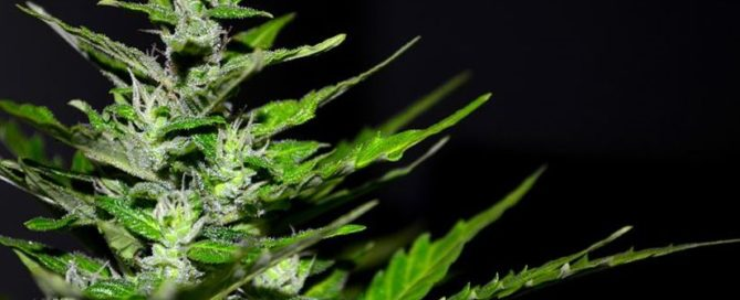Why are Terpenes Vital to Entourage Effect