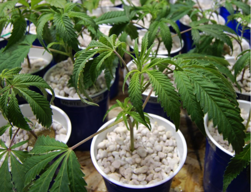 Diagnosing and Dealing with Overwatered Marijuana Plants